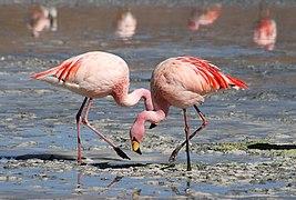 267px Flamingos Laguna Colorada