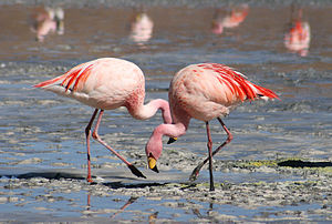 Português: Flamingos-de-james na Laguna Colora...