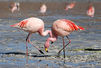 Flamingo - James's flamingos (P. jamesi)