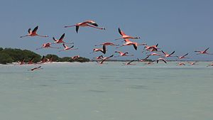 Flamingo - Flamingos in flight at Rio Lagartos, Yucatán, MX