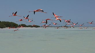 Flamingos in flight at Rio Lagartos, Yucatan, Mexico Flamingos in flight.jpg