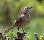 Flickr - Dario Sanches - SABIÁ-DO-CAMPO (Mimus Saturninus) (1).jpg