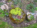 Flickr - brewbooks - Sedums in our Garden.jpg