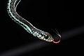 Flickr - ggallice - Bluestripe garter snake (1).jpg