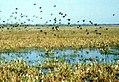 Flock of Parrots (11799244).jpg