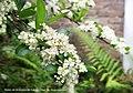 Flores de El espino de fuego Piracanta - Diaz De Vivar Gustavo.jpg