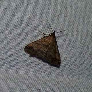 <i>Tetanolita</i> Genus of moths