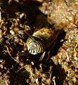 Flower Fly. Eristalinus taeniops. Female. Syrphidae. Diptera. - Flickr - gailhampshire.jpg