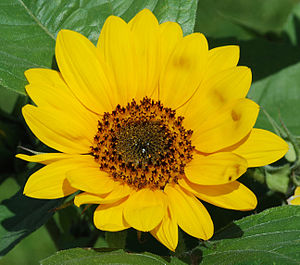 "Pseudanthium - What appear to be ""petals"" of an individual flower, are actually each individual complete ray flowers, and at the center is a dense pack of individual tiny disc flowers. Because the collection has the overall appearance of a single flower, the collection of flowers in the head of this sunflower is called a pseudanthium."