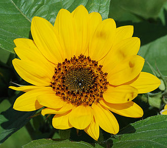 "Pseudanthium - What appear to be ""petals"" of an individual flower, are actually each individual complete ray flowers, and at the center is a dense pack of individual tiny disc flowers. Because the collection has the overall appearance of a single flower, the collection of flowers in the head of this sunflower is called a pseudanthium or a composite."