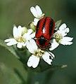 Flower beetle (3609620638).jpg