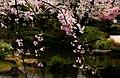 Flower viewing event in Tokyo, Japan; April 2014 (12).jpg