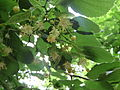 Flowers of large-leaved linden (Tilia platyphyllos) IMG 3223 02.JPG