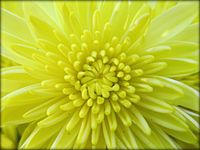 Focus on Yellow Chrysanthemum.jpg