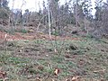 Forest Clearance - geograph.org.uk - 117127.jpg