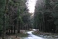 Forestry track approaching a junction, Great Haldon - geograph.org.uk - 1651689.jpg