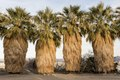 Four unusual palm trees at the Desert Studies Center at the tiny settlement of Zzyzx, near Baker and adjacent to the Mojave National Preserve in southeast California LCCN2013631129.tif