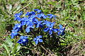 Frühlings-Enzian (Gentiana verna).jpg