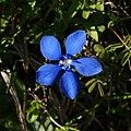 Frühlings Enzian Gentiana verna 05.JPG