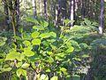 Fraxinus ornus (subsp. ornus) sl2.jpg