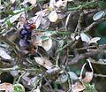 Frelon asiatique pyrale buis.JPG
