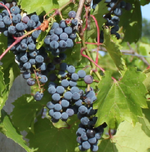 Frontenac grapes.png