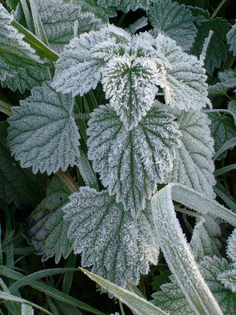 http://upload.wikimedia.org/wikipedia/commons/thumb/3/38/Frost_on_a_nettle%2C_Netherlands.jpg/768px-Frost_on_a_nettle%2C_Netherlands.jpg