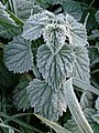 Frost on a nettle, Netherlands.jpg