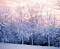 Frosted trees 1980 - panoramio.jpg