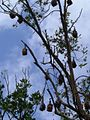 Fruit Bats in Sydney (927139179).jpg