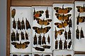 Fulgoridae Drawers - 5036096745.jpg