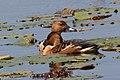 Fulvous Whistling-Duck Anahuac NWR High Island TX 2018-04-17 11-39-40 (27078925197).jpg