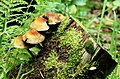 Fungus, Crawfordsburn Glen (5) - geograph.org.uk - 904565.jpg