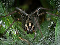 Funnel Web Spider-27527-1.jpg
