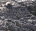 Fur Seals 2 (31502929125).jpg