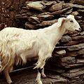 Furry goat.jpg