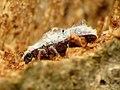 Fuzz-covered Beetle (30404662044).jpg