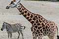 GIRAFFES AT DUBLIN ZOO (AFRICAN PLAINS SECTION)-128906 (34685386712).jpg