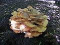 GOC Bengeo to Woodhall Park 064 Chicken of the Woods (Laetiporus sulphureus) (8103094499).jpg