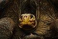 Galápagos tortoise (4229043226).jpg
