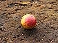 Galappel (Cynips quercusfolii) 02.JPG