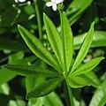 Galium odoratum Przytulia wonna 2009-05-24 02.jpg