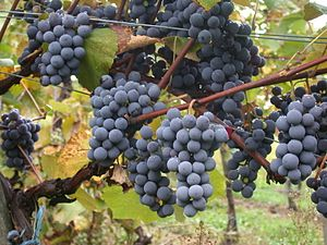 Beaujolais nouveau - The Gamay grape used to produce Beaujolais nouveau.