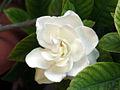 Gardenia 45302.jpg