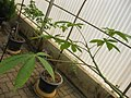 Gardenology.org-IMG 7978 qsbg11mar.jpg