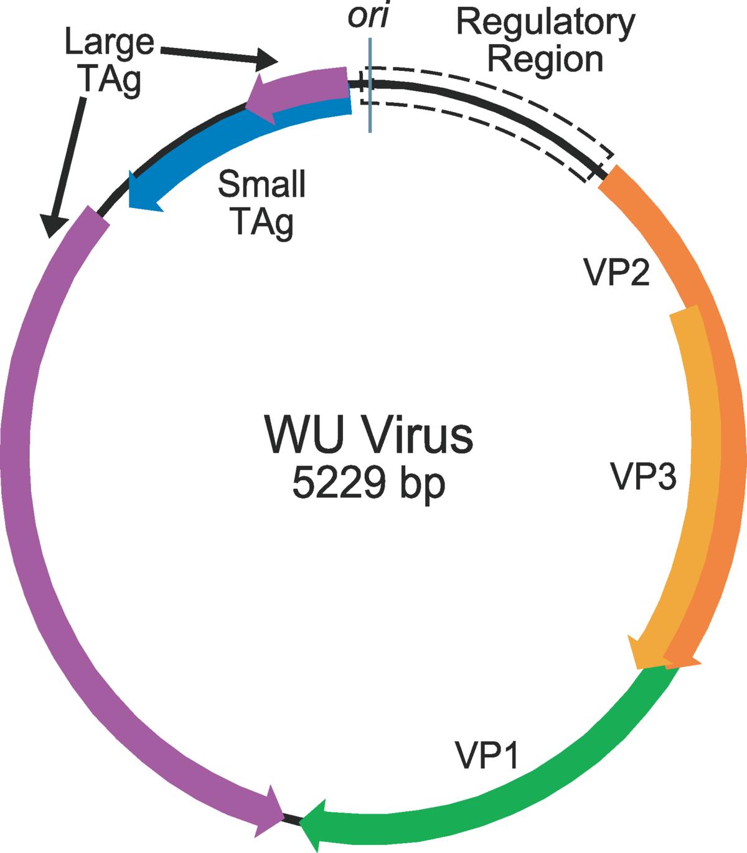 KI polyomavirus - Wikipedia