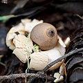 Geastrum saccatum 29029151.jpg