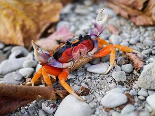 Gecarcinidae family of crustaceans
