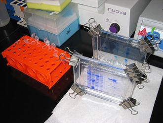 Polyacrylamide gel electrophoresis - Two SDS-PAGE-gels after a completed run