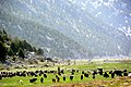 Gembos ovasında keçi sürüsü - panoramio.jpg